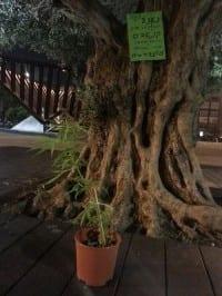עציץ קנאביס בכיכר רבין