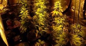 גידול מריחואנה בית זית