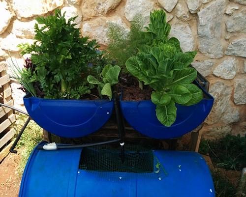 אקוופוניקה: גידול צמחים אוטומטי על בסיס מים ודגים