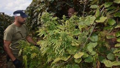 Photo of מושב אביבים: שדה מריחואנה בתוך מטע קיווי