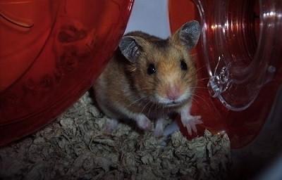 עכבר קנאביס