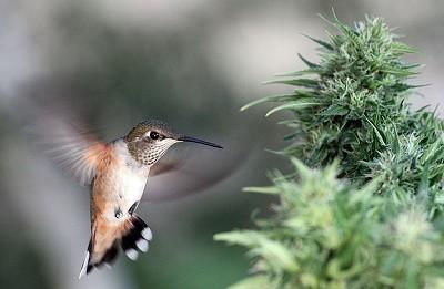קנאביס יונק הדבש ציפור