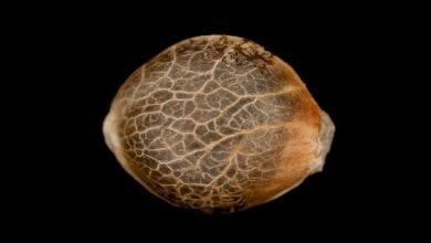 Photo of מוגן: רכישת זרעי קנאביס ב-4 צעדים פשוטים