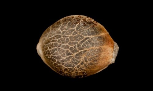קניית זרעי קנאביס באינטרנט - מדריך