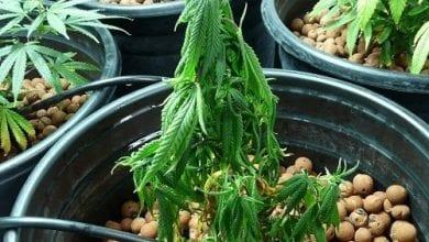 צמח קנאביס נבילה