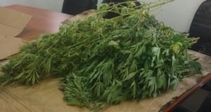 """מכמורת: """"גידול חממה"""" עם עשרות צמחי קנאביס נתפסו ביישוב"""