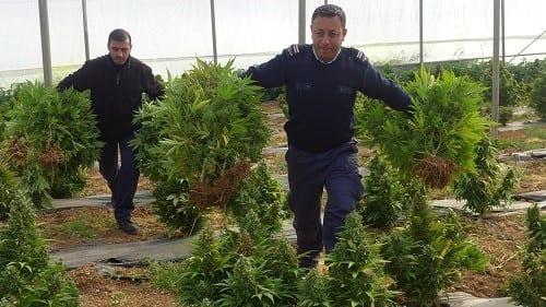 """חברון: אלפי שתילי קנאביס נמצאו ע""""י המשטרה הפלסטינית"""