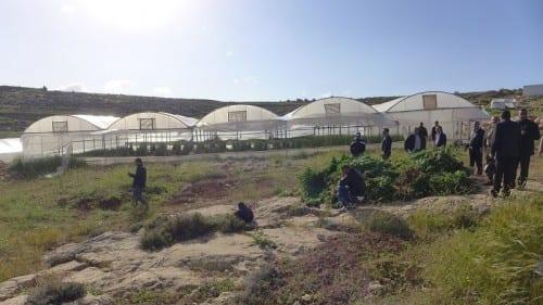 """חברון: אלפי שתילי קנאביס נמצאו ע""""י המשטרה הפלשתינאית"""