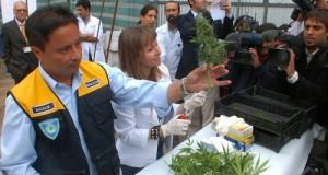 צ'ילה: קציר הקנאביס הרפואי הראשון מוקדש ל-200 חולי סרטן