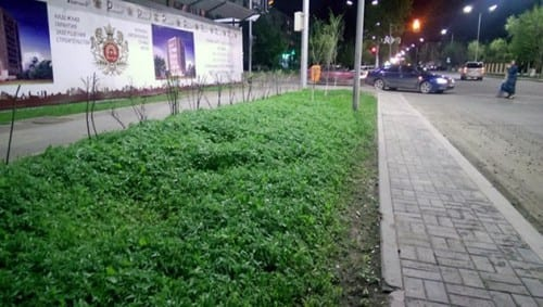 קנאביס במקום פרחים - אסטנה קזחסטן