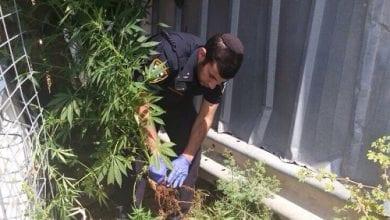 Photo of בן 50 נעצר – גידל שתילי קנאביס בחצר