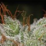 פרח קנאביס מכוסה טריכומות