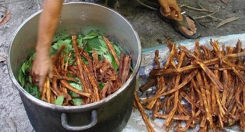מבשלים אייואסקה ביערות האמזונאס