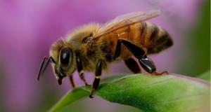 דבורים לזיהוי סמים