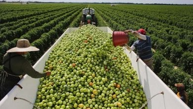 Photo of בגלל הלגליזציה: סוחרי הסמים מגדלים עגבניות