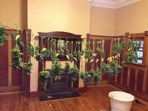 Cannabis drying: Slow and safe