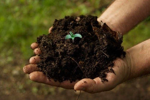 Growing cannabis in soil rich in organic fertilizer