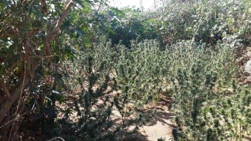 שדה קנאביס במטע תותים
