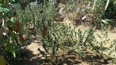 "Photo of שדה עם 57 שתילי קנאביס נחשף בכפר חב""ד"