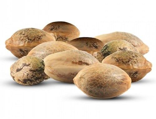 """מיתוסים בגידול קנאביס: """"זרעי קססה"""" עדיפים למגדל המתחיל"""