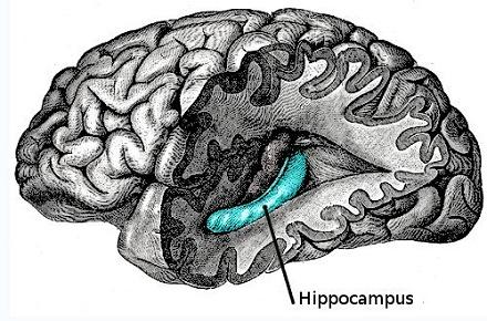 היפוקמפוס - מערכת הזיכרון והניווט במוח