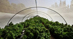 Cannabis growing greenhouse