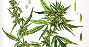 hemp-marijuana-difference