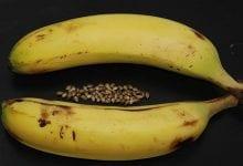 Photo of איך להפוך זרעי קנאביס מזכר לנקבה  – בעזרת קליפות בננה