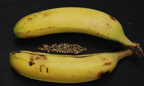 איך להפוך זרעי קנאביס מזכר לנקבה  – בעזרת קליפות בננה