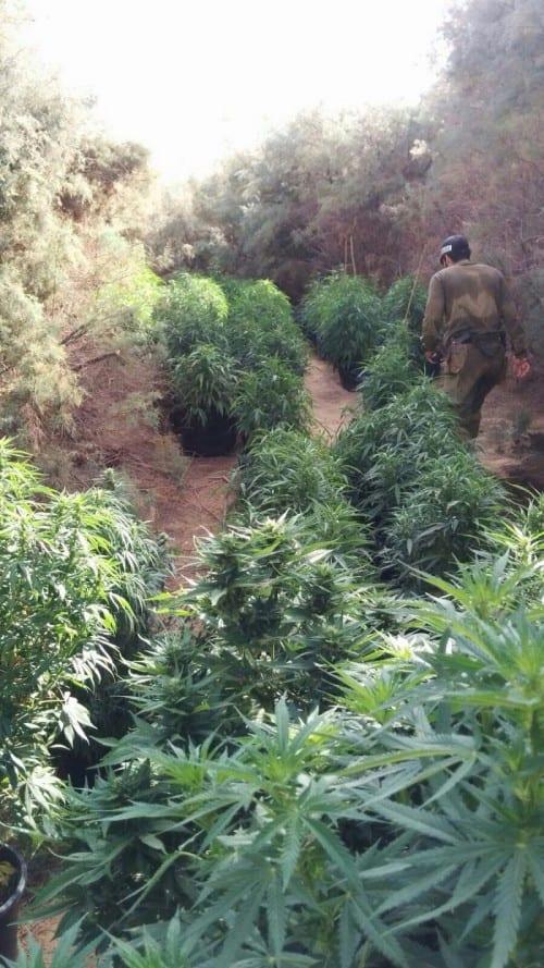תפיסה משטרה מריחואנה צאלים