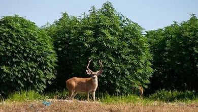 Photo of איילים פרצו לחווה כדי לאכול קנאביס