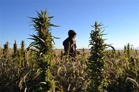 חוות גידול המפ בקולורדו