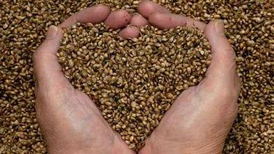 מחקר: זרעי המפ מסייעים לירידה בלחץ הדם