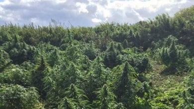 "Photo of ""מגרש כדורגל"" של צמחי מריחואנה נחשף ליד לונדון"