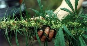 יד מחזיקה צמח מריחואנה