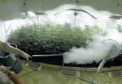 """פד""""ח: שיטה להגדלת כמות הפרחים בצמח קנאביס ביתי"""