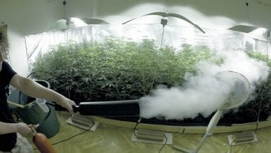 """Photo of פד""""ח: שיטה להגדלת כמות הפרחים בצמח קנאביס ביתי"""
