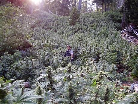 """חוות קנאביס בבמחוז הומבולדט שבקליפורניה, ארה""""ב"""