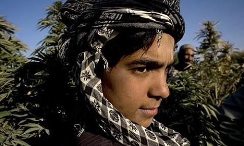 שדות קנאביס בגבול איראן ואפגניסטן