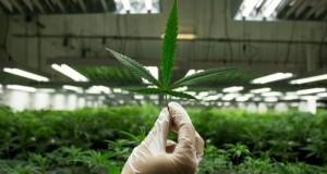 עלה מריחואנה בחממת גידול