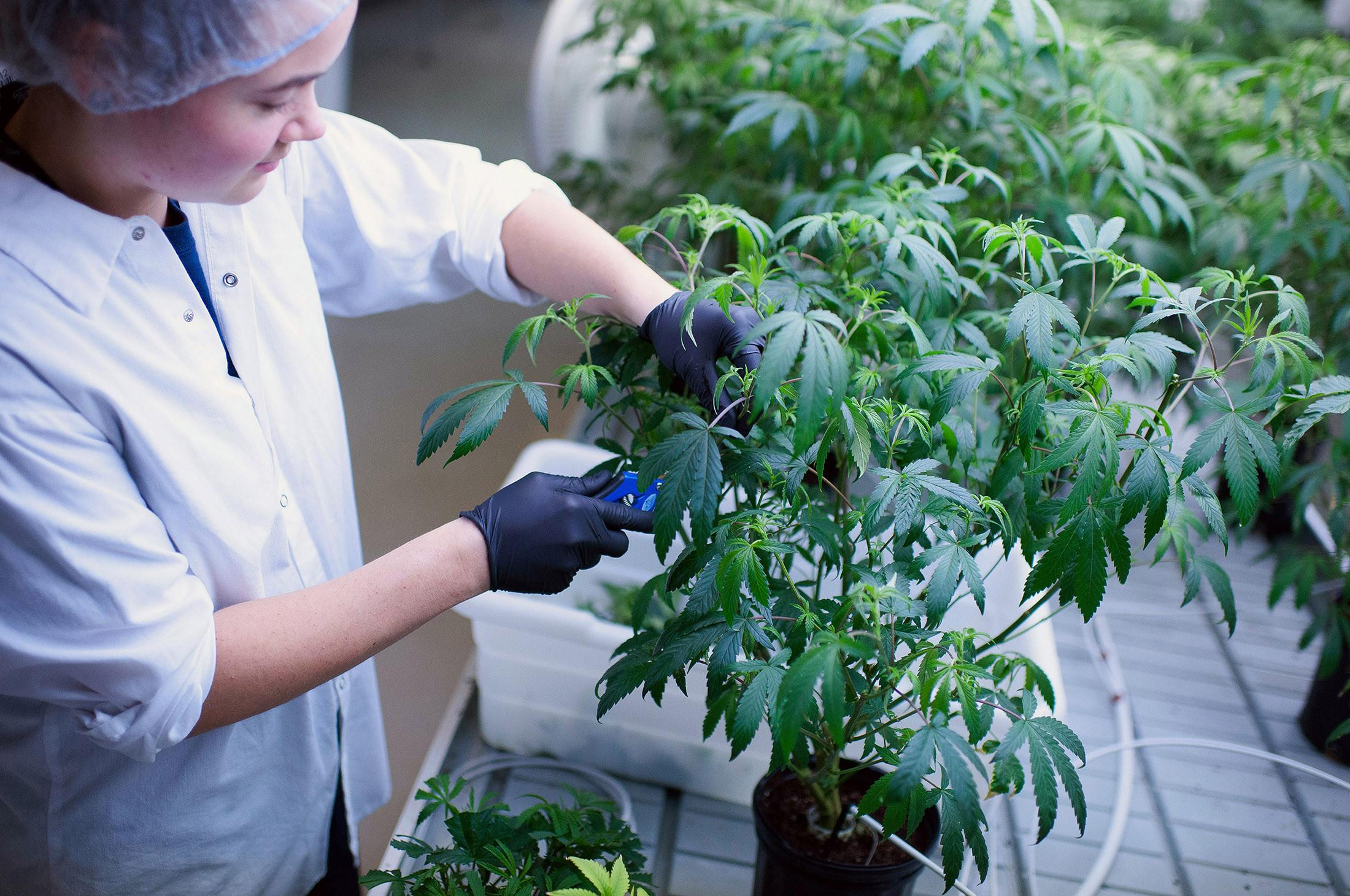 כ-35 עובדים מטפלים ביותר מ-15 אלף צמחי קנאביס
