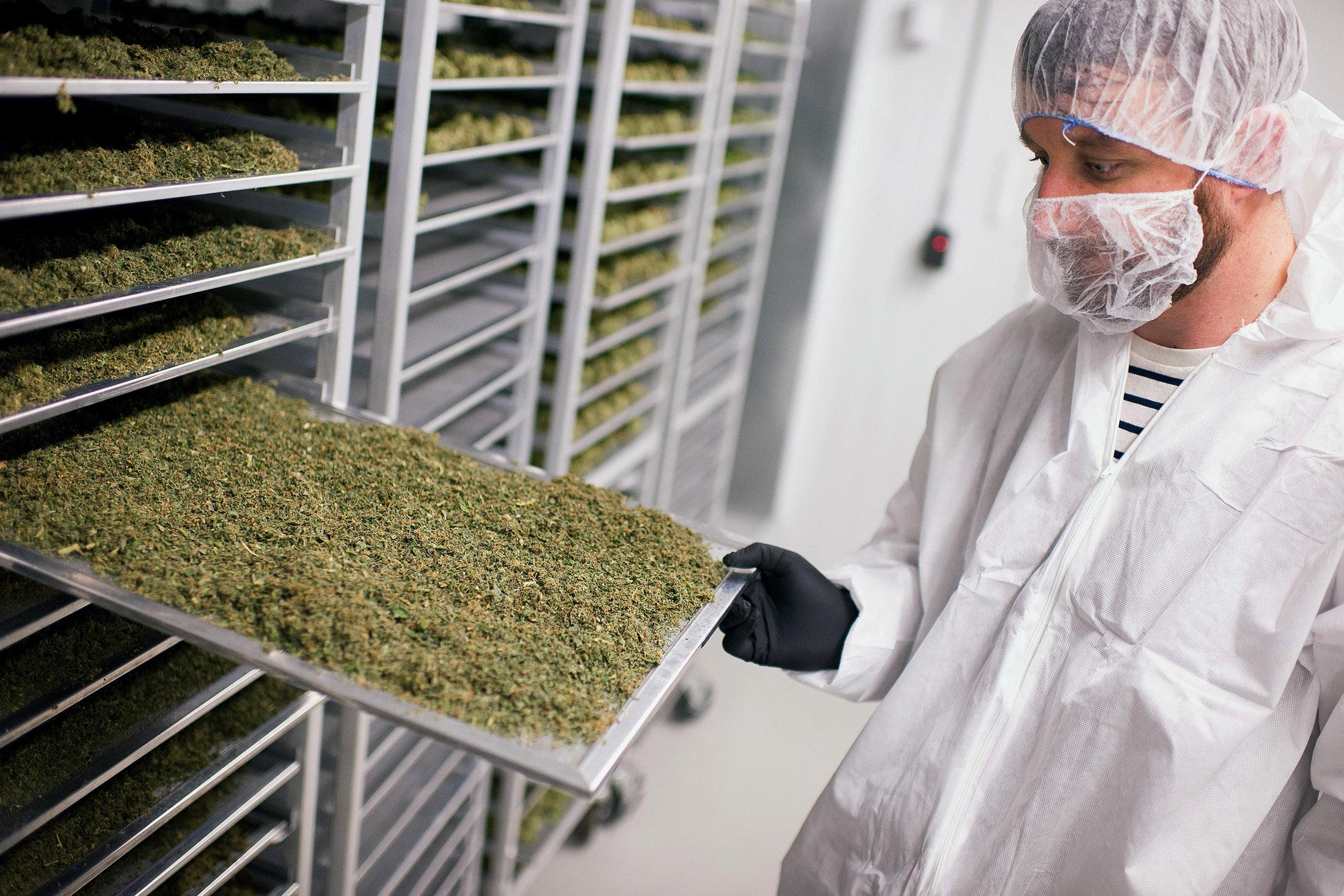 """המפעל מייצר כ-15 אלף ק""""ג מריחואנה בשנה"""