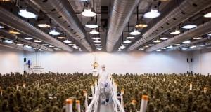 מפעל המריחואנה של חברת 'טוויד' בקואונטאריו, קנדה