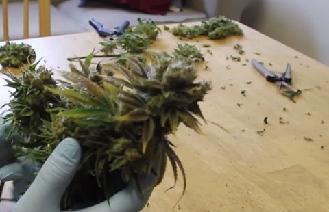 מדריך לגיזום צמח קנאביס