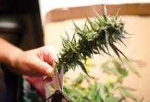 גיזום צמח קנאביס לאחר סיום תהליך הצמיחה