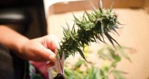 Poda de la planta de cannabis después del final del proceso de crecimiento