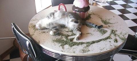 חתול תחת השפעת קטניפ