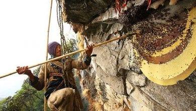 Photo of דבורים בהימלאיה מייצרות דבש פסיכדלי – פעם בשנה
