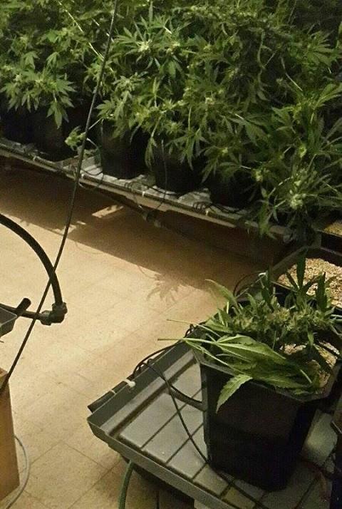 שתילי הקנאביס שנתפסו בדירה | צילום: חטיבת דובר המשטרה