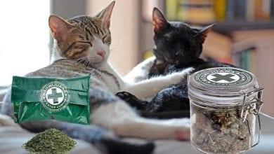 Photo of מיאוויחואנה רפואית: קטניפ משובח לחתולים חובבי עשב